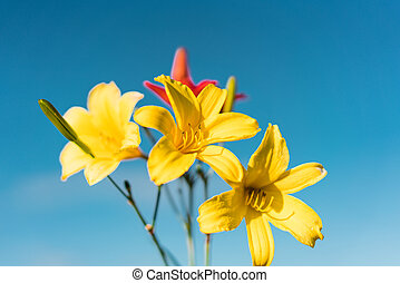 Yellow Siberian lily
