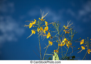 Yellow small flower Cassia