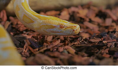 Yellow snake show tongue in a terrarium