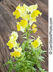 Yellow Snapdragon flower on wooden background
