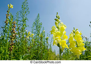 Yellow Snapdragon flowers under blue sky