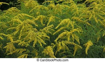 Yellow Solidago virgaurea flower in summer garden blooming