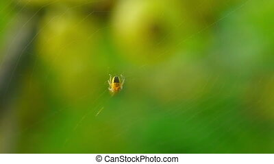 Yellow spider descends on a cobweb and back.