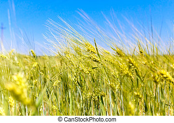 Yellow spikelets of wheat against the blue sky