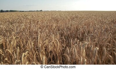Yellow spikes of wheat ready for harvest in field - Closeup...