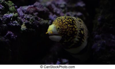 Yellow spotted moray in the rocks under water 4K video clip