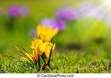 Yellow spring Crocus on a meadow