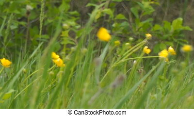 Yellow spring flowers in the wind. Buttercup on the green meadow