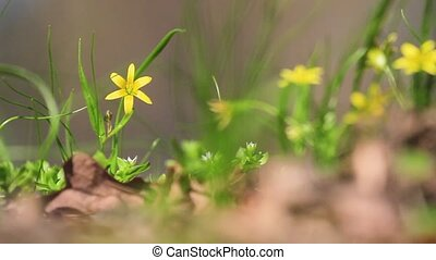 yellow spring flowers sway in the wind, spring day