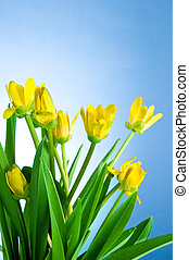 Yellow spring flowers with green leaves on a blue background