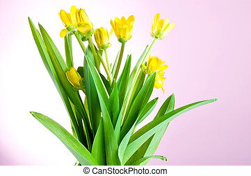 Yellow spring flowers with green leaves on a pink background