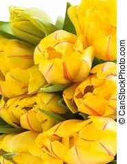 Yellow spring tulips