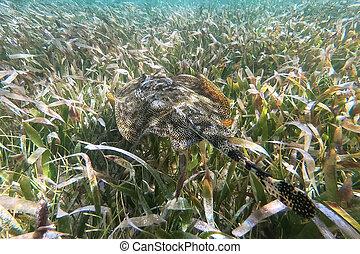 Yellow stingray (Urobatis jamaicensis) camouflaged in sea ...