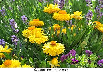 Yellow strawflower in the garden