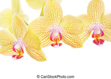 yellow striped beautiful orchid spray isolated on white background