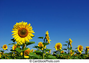 sunflower - yellow sunflower and blue sky background