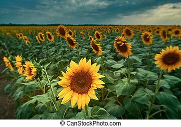 yellow sunflower flower against the sky
