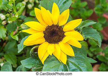 Yellow sunflower growing in a summer garden