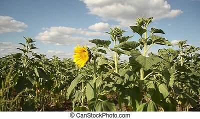 Yellow sunflower in a field against blue sky with clouds