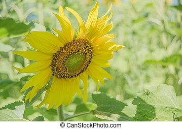 Yellow sunflower in a field