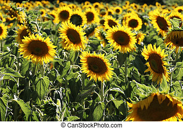 Yellow sunflower in a field on a green background