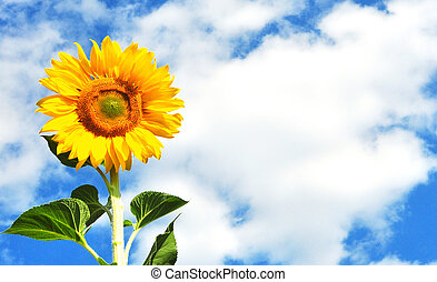 yellow sunflower in sunny day