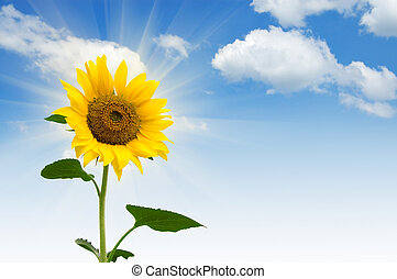 sunflower - yellow sunflower in sunny day