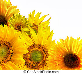 Yellow sunflower on white background