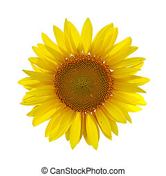 sunflower on white