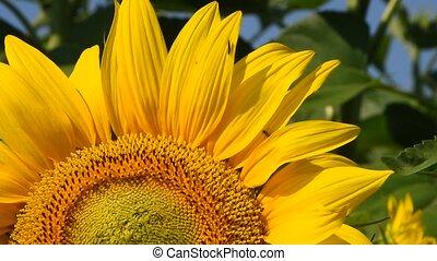 Yellow sunflower over green buds close up tilt - One open...
