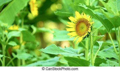 Yellow Sunflower Plantation Footage High Definition - ...