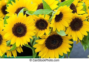 Yellow sunflower plants in bloom