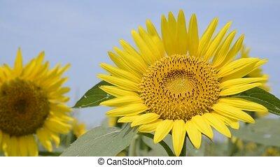 Yellow sunflower - Close up bright yellow sunflower under...
