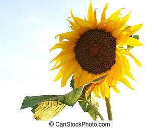 Yellow sunflower three