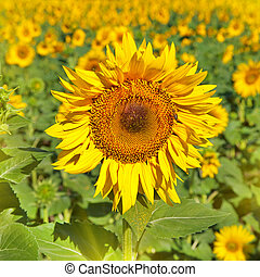 yellow sunflower with green leaves outdoors