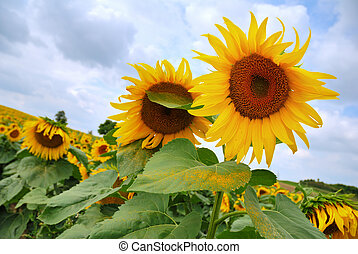 Yellow sunflowers field under a cloudy sky
