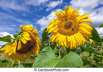 Yellow sunflowers in the field against blue sky background