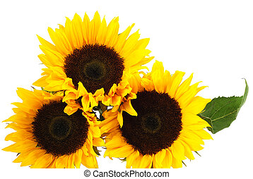 Yellow sunflowers isolated