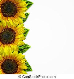 yellow sunflowers on white background
