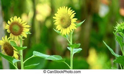 Yellow Sunflowers Outdoor Plantation Footage Asia - Yellow ...