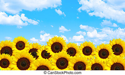 Yellow sunflowers with blue sky