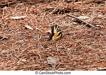 Yellow Swallowtail Butterfly on Pinestraw
