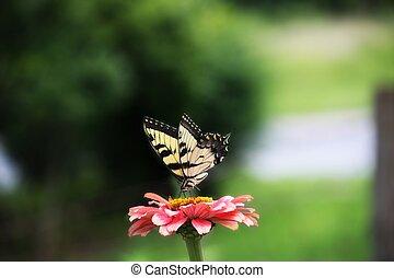 Yellow Swallowtail on Pink Zinnia