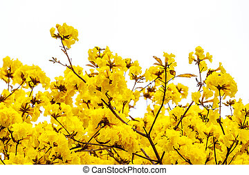 Yellow tabebuia flower blossom on white background