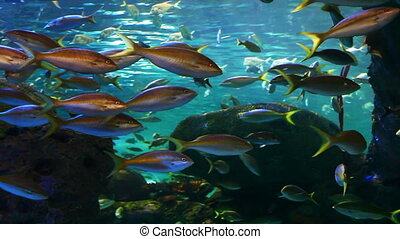 A school of Yellow-tailed Snapper move across our view