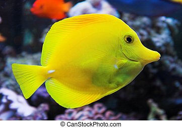Yellow tang fish in salt water aquarium
