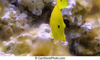 Yellow tang fish, one of the most popular fishes in aquaculture, tropical specie from hawaii