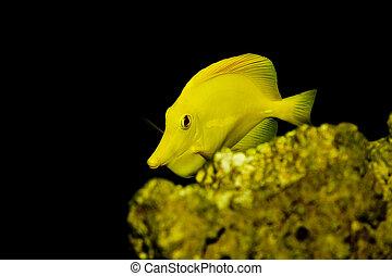 Yellow Tang fish - Zebrasoma flavescens