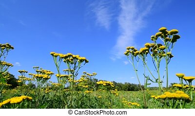 yellow tansy in meadow against the sky - yellow tansy in a...