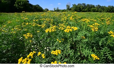 Yellow tansy on meadow swaying in the wind - Yellow tansy on...